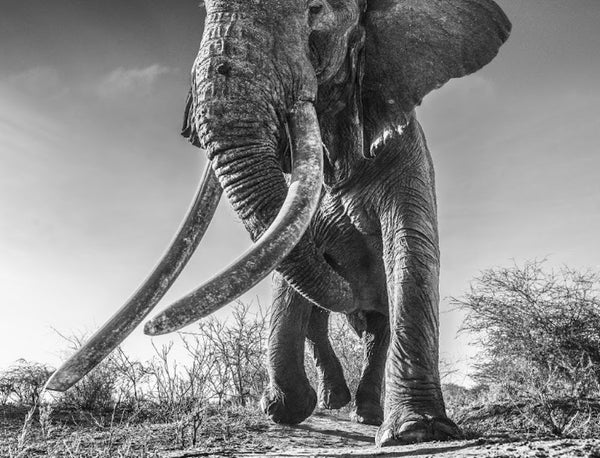 Lugard by David Yarrow, Digital Print, 2017