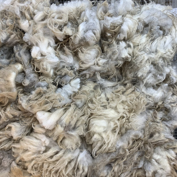 0770 Light Oatmeal Raw Lamb Fleece 23 oz Icelandic - Copia Cove Icelandic Sheep & Wool