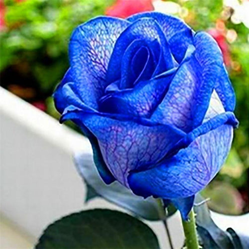 The Blue Beauty Rose Seeds - Jala & Noor Unique Gardening and Home Products