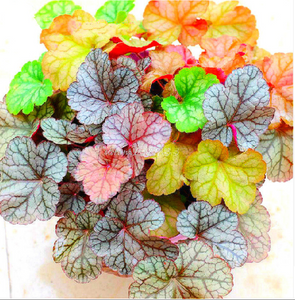 Rainbow Coleus - 100 Seeds - Jala & Noor Unique Gardening and Home Products