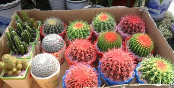 Planting Party Cacti - 300 Seeds - Jala & Noor Internationally sourced Arabic and Islamic goods
