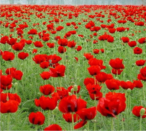 Poppy Heaven - 100 - 2000 Seeds - Jala & Noor Unique Gardening and Home Products