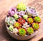 Luscious Succulents - 100 seeds - Jala & Noor Unique Gardening and Home Products