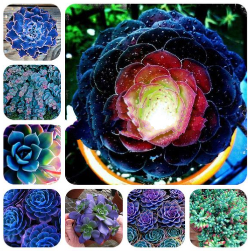 Blue to You Succulents - 100 Seeds - Jala & Noor Unique Gardening and Home Products