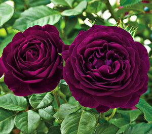 Deep Fire Rose Seeds - Jala & Noor Unique Gardening and Home Products