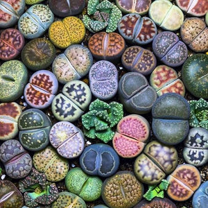 Bubble Succulents - 200 pcs - Jala & Noor Internationally sourced Arabic and Islamic goods
