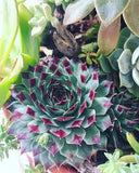 Jane's Succulent Mix - 100 seeds - Jala & Noor Internationally sourced Arabic and Islamic goods