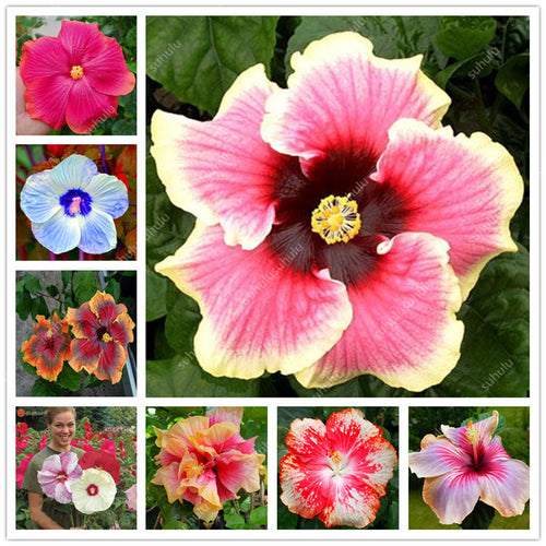 Hibiscus Seeds 100 Count - Jala & Noor Unique Gardening and Home Products