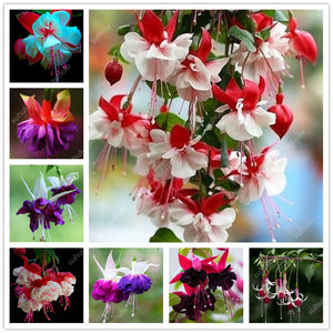 Fuschia Blossoms - Rainbow Variant - Jala & Noor Unique Gardening and Home Products