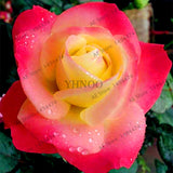 Rainbow Rose Seeds - Jala & Noor Internationally sourced Arabic and Islamic goods