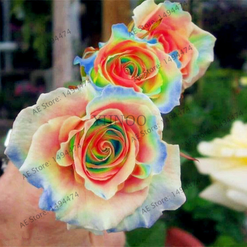 Rainbow Rose Seeds - Jala & Noor Unique Gardening and Home Products