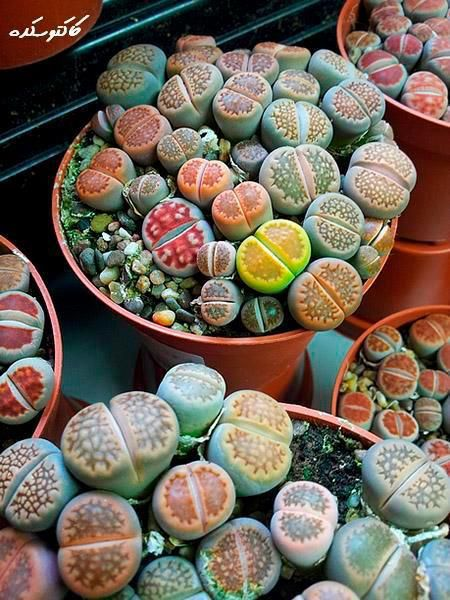 Succulent City - 100 Seeds - Rare Finds - Jala & Noor Internationally sourced Arabic and Islamic goods