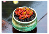 Berry-licious Succulents - 200 seeds - Jala & Noor Internationally sourced Arabic and Islamic goods