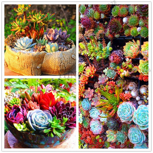 Mini Succulent Nursery - 204 Seeds - Jala & Noor Unique Gardening and Home Products