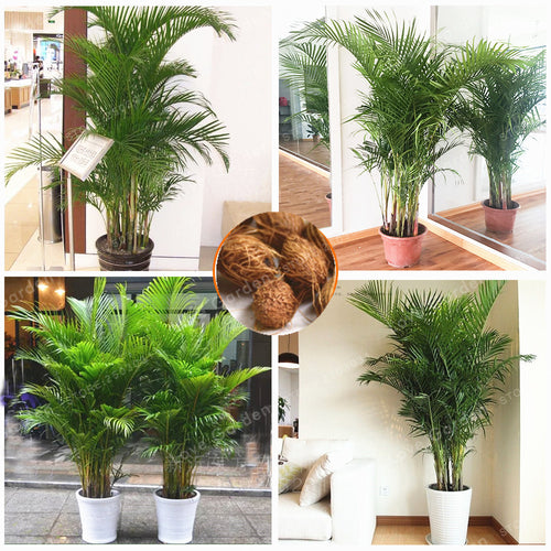 Butterfly Palm - 5 Seeds - Jala & Noor Unique Gardening and Home Products