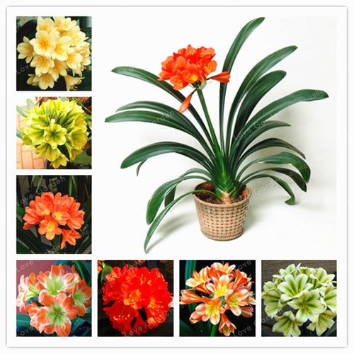 Clivia Miniata Bush Lily - 100 Seeds - Jala & Noor Unique Gardening and Home Products