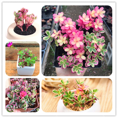 Pink Princess Succulent - 100 Seeds - Jala & Noor Unique Gardening and Home Products