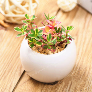Pink Princess Succulent - 100 Seeds - Jala & Noor Internationally sourced Arabic and Islamic goods