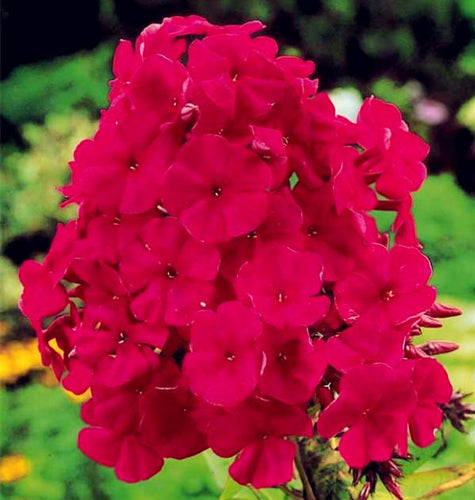 Phlox-E-Moxie - 100 Seeds - Jala & Noor Internationally sourced Arabic and Islamic goods