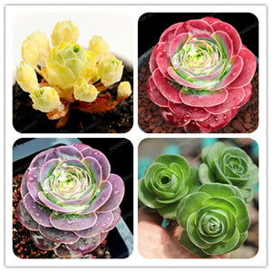 Mountain Roses Succulents - 100 pcs - Jala & Noor Unique Gardening and Home Products