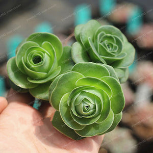 Mountain Roses Succulents - 100 pcs - Jala & Noor Internationally sourced Arabic and Islamic goods