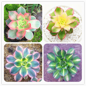 Poppin Pastels Succulents - 100 Seeds - Jala & Noor Unique Gardening and Home Products