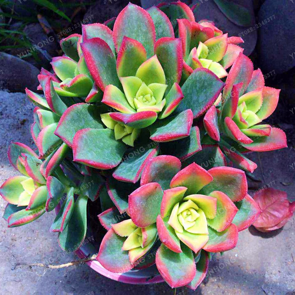 Poppin Pastels Succulents - 100 Seeds - Jala & Noor Internationally sourced Arabic and Islamic goods