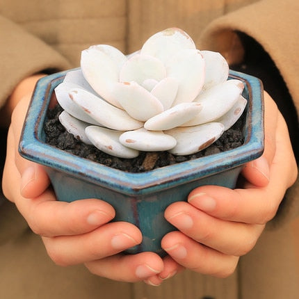 Pinky white is in the house - Succulents 100 Seeds - Jala & Noor Internationally sourced Arabic and Islamic goods