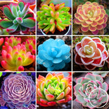 Fallen Beauty Succulents - 100 Seeds - Jala & Noor Unique Gardening and Home Products