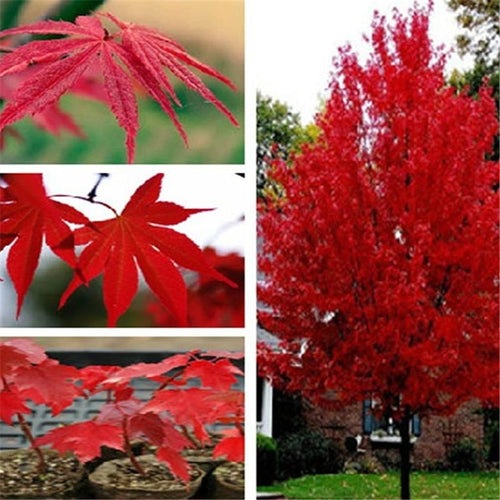 Japanese Maple - 20-100 Seeds - Jala & Noor Internationally sourced Arabic and Islamic goods