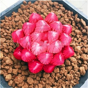 Fallen Beauty Succulents - 100 Seeds - Jala & Noor Internationally sourced Arabic and Islamic goods