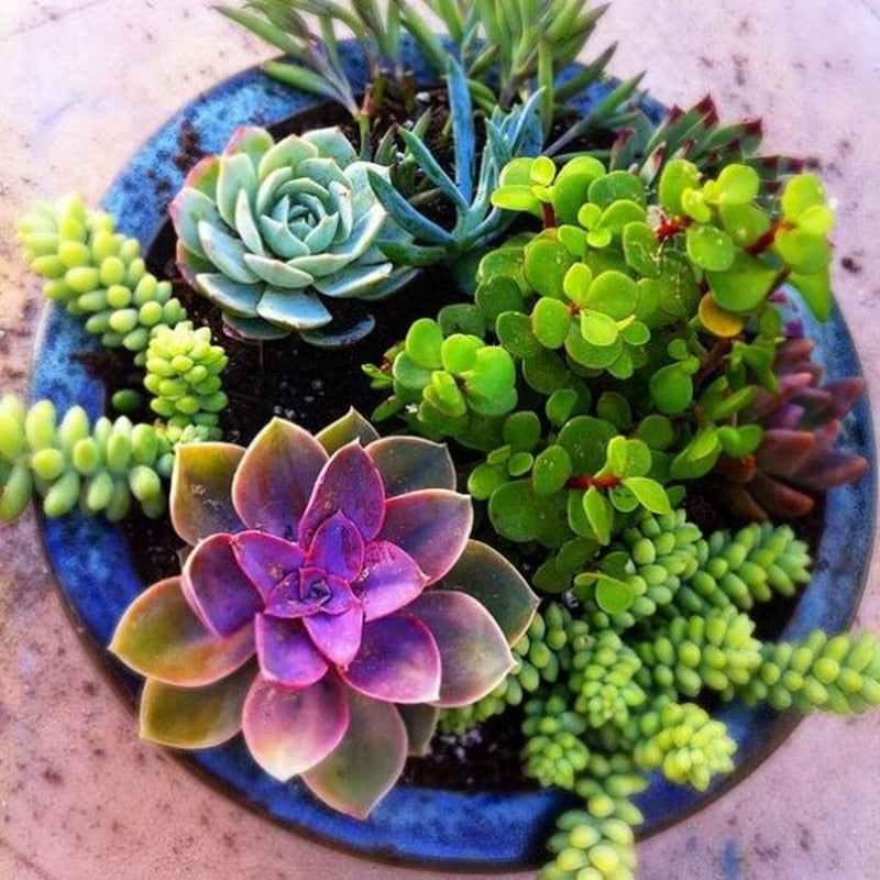 Mini Sempervivum Succulents - 100 seeds - Jala & Noor Internationally sourced Arabic and Islamic goods