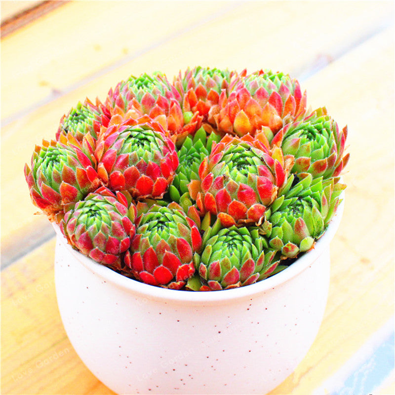The Red Sempervivum - 100 Seeds - Jala & Noor Internationally sourced Arabic and Islamic goods