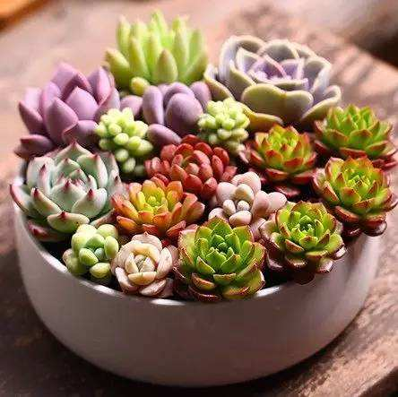 Flesh Toned Succulents - 100 pcs - Jala & Noor Unique Gardening and Home Products