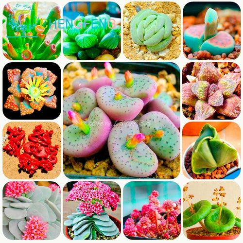 It's a Rainbow Garden Succulents - 300 seeds - Jala & Noor Unique Gardening and Home Products