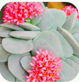 It's a Rainbow Garden Succulents - 300 seeds - Jala & Noor Internationally sourced Arabic and Islamic goods