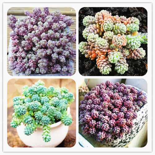 Mini Grape Succulents - 100 Seeds - Jala & Noor Unique Gardening and Home Products