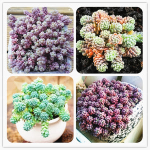 Mini Grape Succulents - 100 Seeds - Jala & Noor Internationally sourced Arabic and Islamic goods