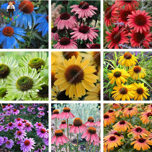 Multi Colored Echinacea - 120 Seeds - Jala & Noor Unique Gardening and Home Products