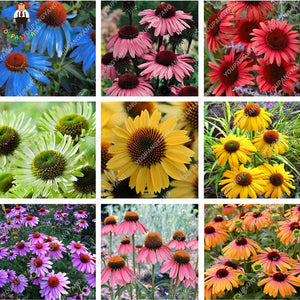 Multi Colored Echinacea - 120 Seeds - Jala & Noor Internationally sourced Arabic and Islamic goods