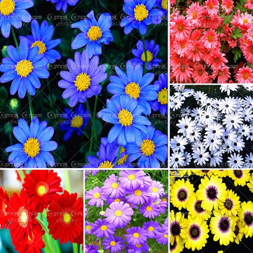 Daisy Daisy Daisy's!  100 seeds - Jala & Noor Unique Gardening and Home Products