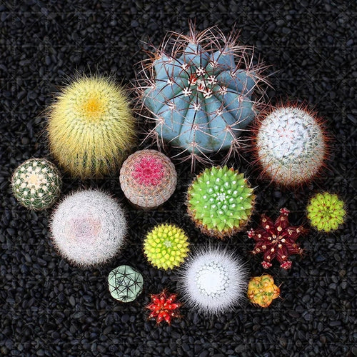 Mini Cactus Dreams - 100 Seeds - Jala & Noor Unique Gardening and Home Products