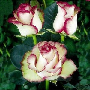 Mini Sleeping Beauty Roses- 100 Seeds - Jala & Noor Unique Gardening and Home Products