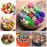 Life is colorful Succulents - 100 seeds - Jala & Noor Unique Gardening and Home Products