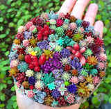 Life is colorful Succulents - 100 seeds - Jala & Noor Internationally sourced Arabic and Islamic goods