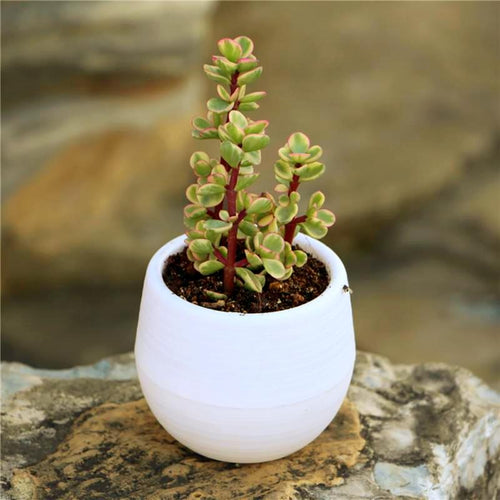 It's real Simple - Succulent Planter - Jala & Noor Unique Gardening and Home Products