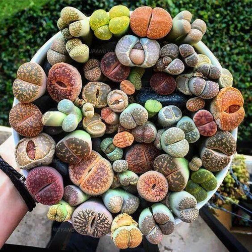 The World Is Smiling - Succulents 300 seeds - Jala & Noor Unique Gardening and Home Products
