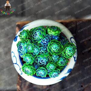 Cabbage Succulent - 100 Seeds - Jala & Noor Internationally sourced Arabic and Islamic goods