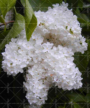 Julie's Lilac Trees - 100 seeds - Jala & Noor Internationally sourced Arabic and Islamic goods