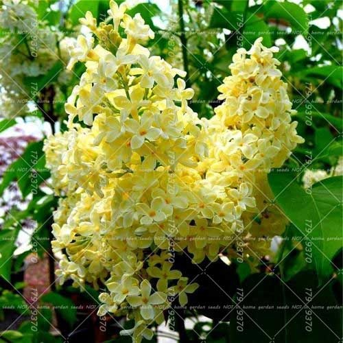 Julie's Lilac Trees - 100 seeds - Jala & Noor Unique Gardening and Home Products